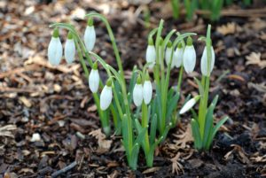 "Snowdrops are a sure sign of spring. Snowdrops produce one very small, pendulous bell-shaped white flower which hangs off its stalk like a ""drop"" before opening."
