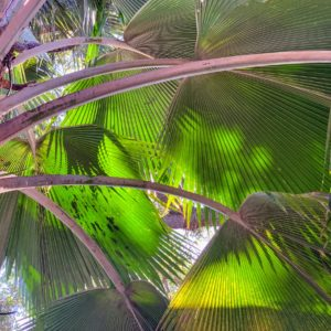 This is a fan palm, Pritchardia lowreyana. The solid, medium height trunk of the plant supports a crown of deeply divided arching fan-shaped leaves. The fronds were used by early Hawaiians for thatching.