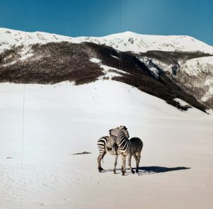 This Untitled (zebras), (2003), is a photographic print mounted on aluminum.