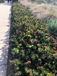 Callistemon 'Little John' is a beautiful dense, evergreen shrub grown for its dazzling blood red flowers. It is easy to grow in acidic, moist well-drained soils that are in full to light shade.