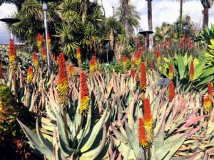 Aloe petricola is a stemless solitary or sparsely-clustering aloe that grows 18 to 24 inches tall by two to three feet wide with broad-based narrow-tipped long blue-gray leaves that curve up and in, giving the plant a rounded form. This time of year, they show reddish orange in bud, opening to cream to pale yellow with faint green striped petals and dark brownish anthers, all densely stacked on the stems and opening from bottom to the top.
