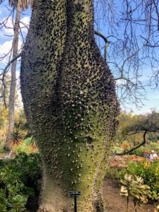 The Chorisia insignis tree has a bulbous trunk that becomes more bottle shaped as it ages. It is covered with stout spines and blooms with white to creamy yellow lily-like flowers.