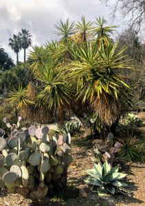 On the left is Opuntia cactus, or prickly pears. They are identified by the wide, flat, branching pads, and are often called nopal cactus or paddle cactus. Yucca can be seen in the center with its evergreen, tough, sword-shaped leaves.