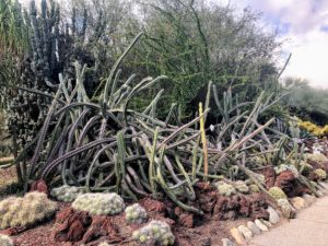 Huntington's Desert Garden remains among the world's finest, with more than five-thousand species. This interesting cactus formation is called Stenocereus alamosanus.