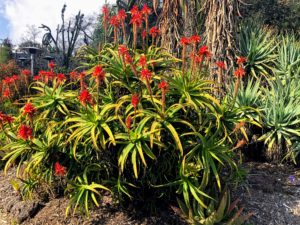 Aloe scorpioides is a shrubby forest aloe that stands up to four-feet tall, with rosettes of pale green to bright green, recurved leaves with large teeth. Its flowers are brilliant scarlet on tightly packed strongly conical racemes in winter.
