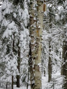 These are white birch trees. Betula papyrifera is a short-lived species of birch native to northern North America. Also known as paper birch, it is named due to the thin white bark which often peels in paper like layers from the trunk.