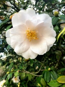 The Camellia Collection is recognized as an International Camellia Garden of Excellence. It includes nearly 80-different camellia species and about 1200 cultivated varieties, many of them rare and historic.