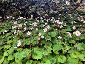 This is a patch of Eomecon chionantha. Eomecon is a genus of flowering plants in the poppy family. Its common names include snow-poppy and dawn-poppy and is native to China.