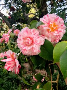 These snow camellias are compact and mounded with large, uniquely frilled double blooms.