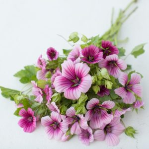 Malope 'Queen Pink' is another easy to grow cultivar. Vigorous and long flowering, Malope is a must have cutting garden staple. Each plant is loaded with vivid magenta and pink flowers that resemble hibiscus. (Photo from Floret)