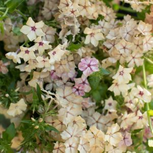 Some of the seeds we received include Phlox 'Creme Brulee' - petite, star-shaped flowers, some bearing a dark center eye, and others marbled and speckled. The plants produce abundant flowers with a sweet candy fragrance from mid-summer through autumn. (Photo from Floret)