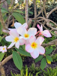 This is Frangipani, Plumeria alba - a species of the genus Plumeria. The evergreen shrub has narrow elongated leaves, large and strongly perfumed white flowers with yellow centers.