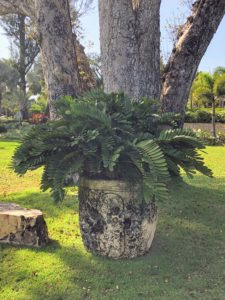 On the Encanto Lawn, Kevin took this photo of a potted Zamia pumila, or coontie palm - a small, tough, woody cycad of the West Indies and Florida.