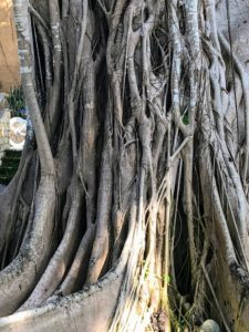 Here is a closeup of the tree's trunk structure. It has smooth light-gray bark and many invasive prop roots.