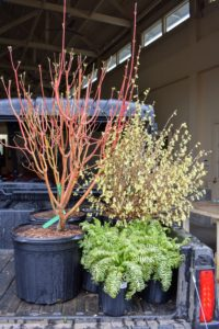 "In the end, I purchased several plants including red-osier dogwood, Cornus sericea ""Cardinal', buttercup winter-hazel, Corylopsis pauciflora, and a variegated Jacob's ladder, Polemonium caeruleum, Brise d'Anjou. These will make wonderful additions to my gardens at the farm. What a fun evening at The New York Botanical Garden - please visit the NYBG when you can."