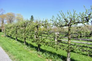 Across the carriage road are the beautiful Malus 'Gravenstein' espalier apple trees.