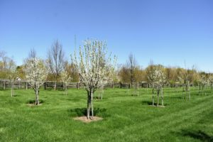 These are plum trees on the other side of the orchard. My plum varieties include 'Green Gage', 'Mount Royal', 'NY9', and 'Stanley'.