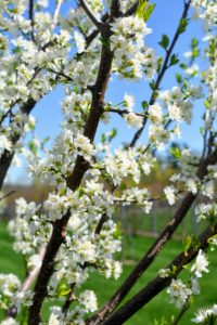 Prunus americana has such beautiful white flowers. It produces very sweet, and juicy fruits.
