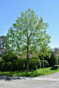 This is one one of two large horse chestnuts in front of my stable. Aesculus hippocastanum is a large deciduous tree also known as conker tree. It is looking very green now, but soon it will have gorgeous pink flowers that provide a rich source of nectar and pollen to insects, particularly the bees.