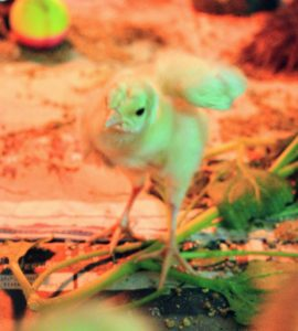 The peachick is also quite tough. It is already fluttering its wings and flying short distances around the crate. The reddish tint to the photo is from the heat lamp suspended above to keep them warm.