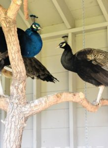 At the end of the day, all the coops are closed and locked at night to keep out any predators. See you soon my dear peafowl. What birds share your home? Let me know in the comments section below.