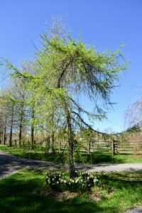 "This is a weeping larch, Larix decidua 'Pendula'. It has bright green needles in spring, which turn gold before dropping in fall. This curvaceous tree is located at ""the triangle"" where the carriage roads leading to the Boxwood Allee, the Pin Oak Allee and the woodland, all converge."