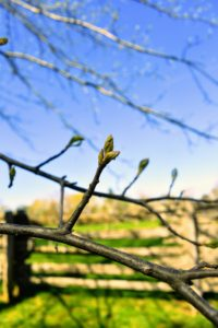 Here are the buds on the pin oak branches - just waiting to open.