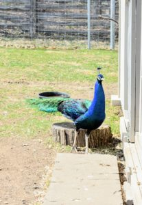 This peacock loves to go in and out of the coop. His iridescent blue coloring is so beautiful.