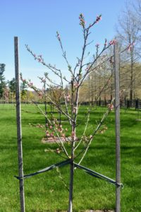 These trees are all staked for added support, and they're growing very well - in part because of the nutrient-rich soil.