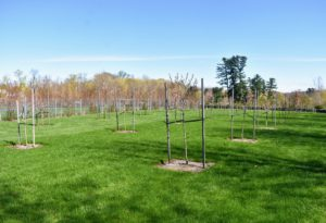 This orchard surrounds three sides of my pool. We planted more than 200-fruit trees here, many of which started as bare-root cuttings.