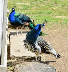 Peafowl will look you in the eye, unlike many birds, but if you stare at them or seem aggressive in body movements, they will feel threatened. Peafowl will also puff up their neck feathers to look larger and more menacing.