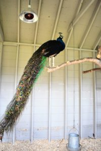 "From this location, this handsome peacock can see all the activity inside and outside the coop. The peacock ""tail"", known as a ""train"", consists of tail quill feathers and elongated upper tail coverts. These feathers are marked with eyespots, best seen when a peacock raises and fans his tail. Peahens usually choose males that have bigger, healthier plumage with an abundance of eyespots. This day was a bit cloudy and chilly, so none of the males were ""in the mood"" to show their trains."