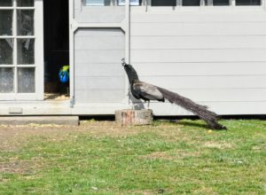 This is a Bronze peacock on the right. Bronze peafowl are very rare – not all breeders will have them. This male has chocolate brown tail feathers and is still very iridescent with its dark feathering. He came from Pedda Reddy, a passionate peafowl breeder and raiser in Dutchess County, New York.