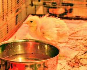 As soon as any chick hatches, each baby is introduced to the waterer and feeder, so they know where to eat and drink, especially when they are moved to new surroundings.