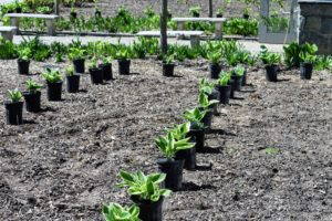 We grouped the hostas by color and moved all the plants selected for these beds to their new location. The soil in these areas was already well rototilled and fertilized last fall when the currants were removed.