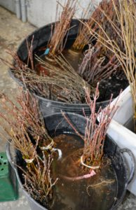 JLPN's cuttings are harvested in December, graded, and then held in cold storage until they are shipped out in spring.