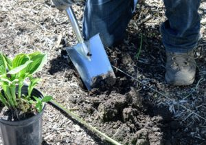 When planting hostas, it is important to dig a hole wide enough to accommodate all the roots of the hosta to be planted without cutting or folding them.