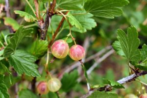 These gooseberries are very dependable and vigorous as growers. They all yield copious clusters of berries every summer.