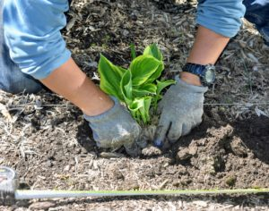 Hostas do not grow deep into the soil - only about the length of the shovel scoop.