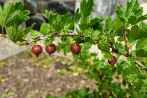 Well-maintained gooseberry bushes can fruit for more than 15-years.