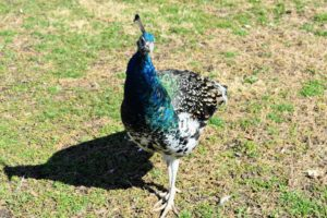 Peafowl have acute hearing, but can be poor at discerning from what direction certain sounds originate.