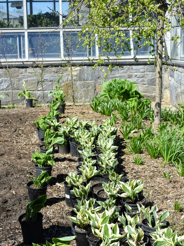 The Martha Stewart Blog Blog Archive Using Hosta Plants In The