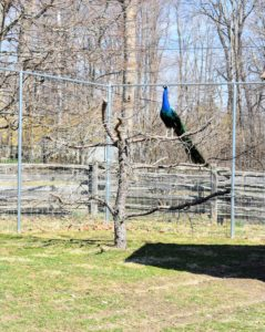 "Inside and out, all my birds have access to natural perches made from old felled trees here at the farm. It is important that they have a variety. At first, the peacocks and peahens weren't sure about this tree - one of two ""planted"" outside the coop. Now, they love to perch on its branches. This male is one of our blue duo."