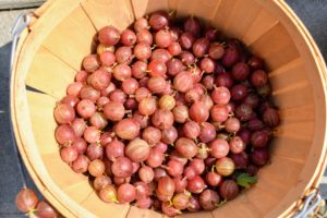 'Pixwell' gooseberries are medium sized pinkish berries that are great for fresh eating or for making pies and jellies. These medium sized, oval-shaped fruits start off pale and become pink when fully ripe.