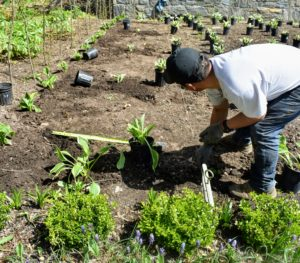 The edge of the bed was planted with green and yellow varieties and the inner squares with green and white varieties. Garden twine is strung from one side to the other to provide a baseline for measuring.