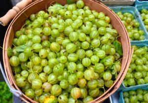 Gooseberries can range from yellow, green, and white to red, purple or nearly black. What is most noticeable in all are the veins in the skin of the fruit. 'Invicta' gooseberries are large, sweet, greenish-yellow berries that are delicious for fresh eating, and for making pies and preserves. They are also great for freezing and using later.