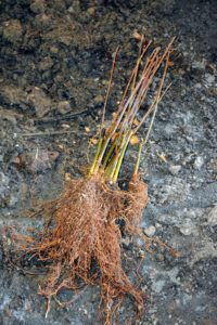 Bare-root plants should not have any mold or mildew. The cuttings should also feel heavy. If they feel light and dried out then the plant probably will not grow.