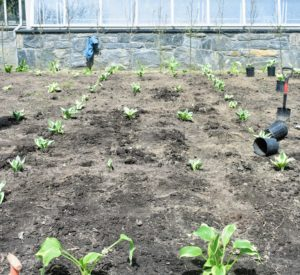 Here is a section planted. The squares are looking very nice.