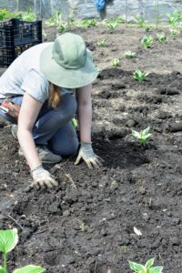 Once a section is filled, Zoe backfills all the holes, so the bulbs are well covered.