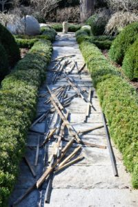 The burlap removal reveals what we hope for every year – green, healthy boxwood.